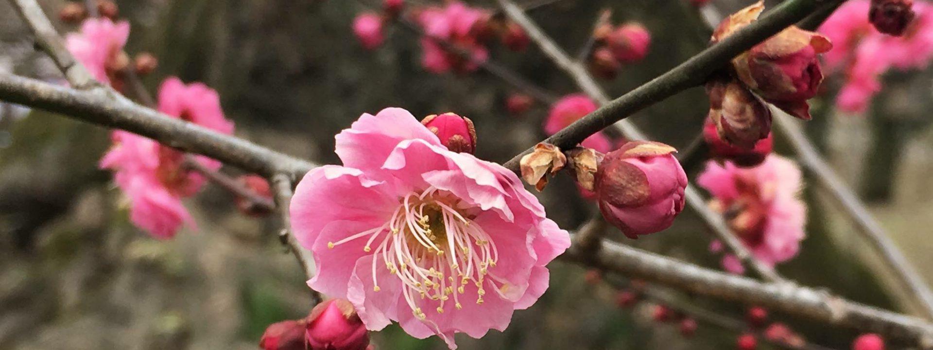北野天満宮の梅花祭